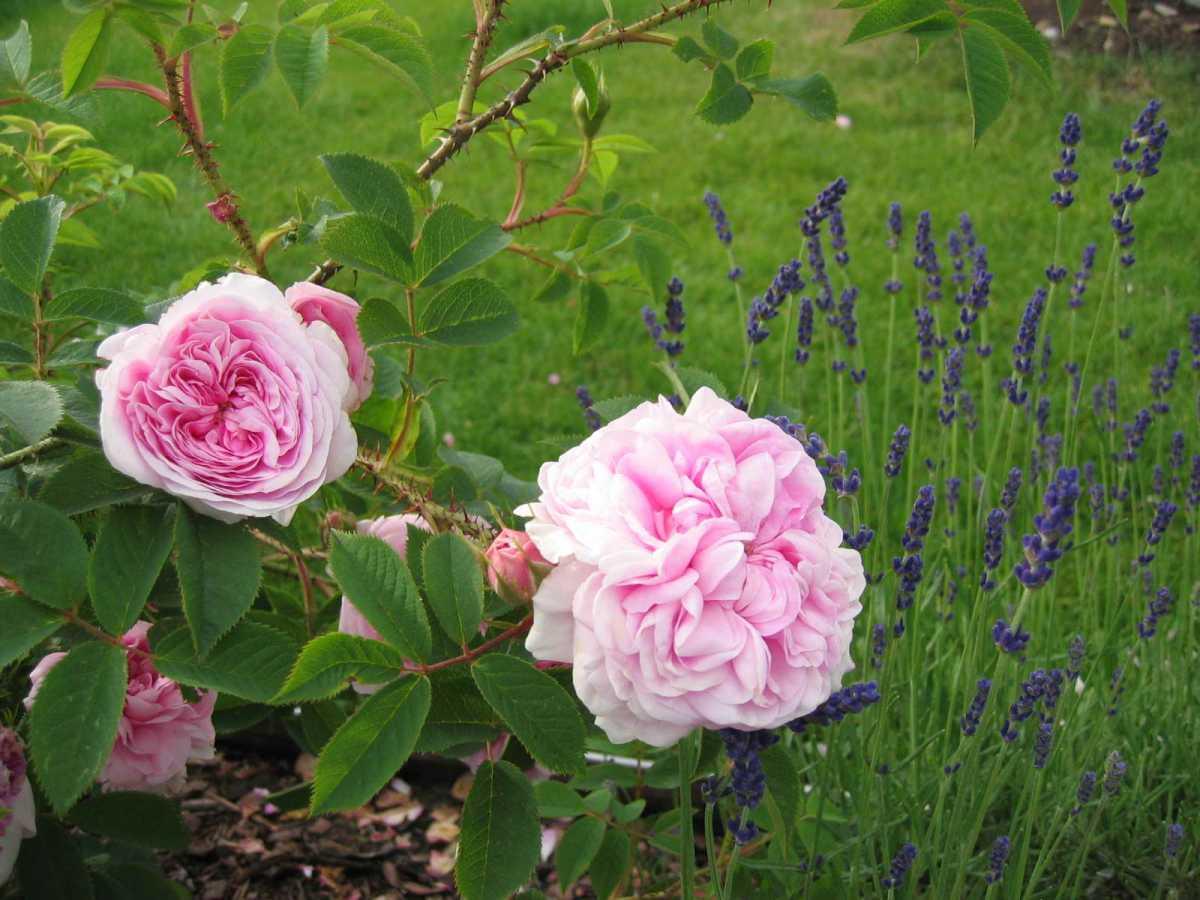 rose_queen_of_denmark.jpg
