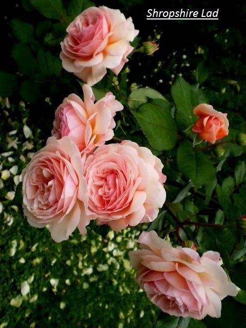 p6230054shropshirelad.jpg